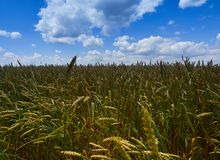 Under the endless blue sky, lies the same boundless field of wheat. Under the endless blue sky, along which cumulus clouds float, lies the same boundless field royalty free stock images