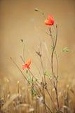 under för bruna vallmor för bakgrund rött Fotografering för Bildbyråer