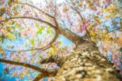 Under filial av det rosa körsbärsröda trädet i suddighetsstil Royaltyfria Foton