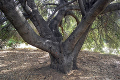 Under filialerna av ett mystiskt forntida träd Royaltyfri Foto