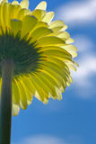 Under a gerbera. The colors of the spring Stock Photo