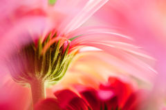 Under a gerbera daisy Royalty Free Stock Photography