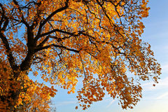 Under golden fall foliage. Under the tree top: Golden fall foliage by sunset. Indian summer Stock Photo