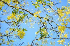 Under the golden shower tree. I stood under the tree with the blooming yellow floral bundle Royalty Free Stock Image