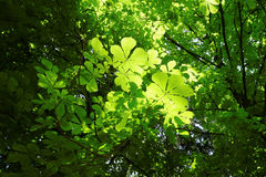 Under green spring foliage at sunny day. Sunlight shimmers through the green leaves of a canopy. Low-angle shot stock photography