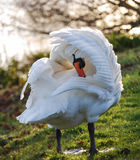 Swan - Under Her Wing Royalty Free Stock Photo