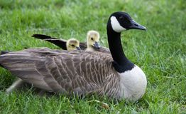 Under Her Wings. Baby Geese Under Their Mama's Wings Royalty Free Stock Photos