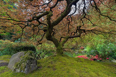 Under the Japanese aple Tree Royalty Free Stock Photo