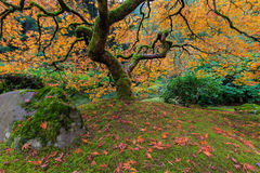 Under the Japanese Mape Tree in Fall Season Stock Images