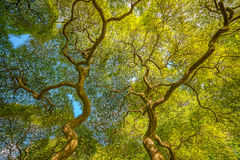 Under a Japanese Maple Tree. Beautiful Japanese Maple tree branches spiraling as they branch out Royalty Free Stock Photo