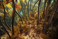 Under kelp forest canopy royalty free stock photos