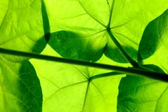 Under the leaves. A view from under large green leaves as the sun shines down Stock Photography