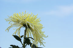 Under the light of the chrysanthemum close-up Royalty Free Stock Images