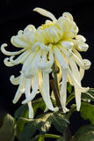 Under the light of the chrysanthemum close-up Royalty Free Stock Photos