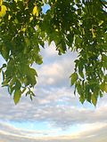 Under the maple tree Stock Photo