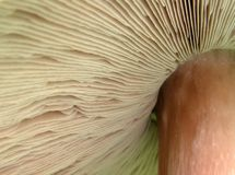 Under a mushroom. Image of the Agaricus augustus fungus Stock Images