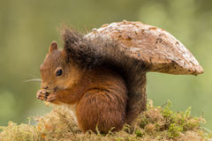 Under the mushroom. Squirrel standing on moss under a mushroom
