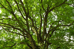 Under an oak tree. Old oak tree branches detail Stock Photography