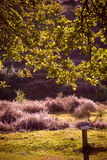 Under the Oak Tree. The Posbank is a particularly heathland in the Netherlands Stock Image