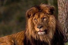 Under observation of the lion stock image