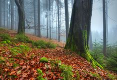 Under the old beech. Late autumn mood in a beech forest Stock Images