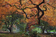 Under the old Japanese Maple Tree in Fall Season stock photography