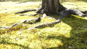Under the old tree ground cover with green lush moss. Floor stock video footage