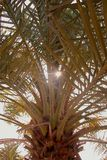 Under a palm tree. Leaves of a date palm royalty free stock image