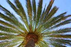 Under a palm tree. A view from underneath a large palm tree Royalty Free Stock Image