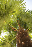 Under a palm tree. Look up. Royalty Free Stock Image