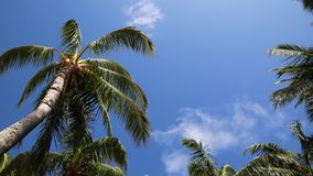 Under palm tree. Tropical palm trees on blue sky - Hawaii stock footage