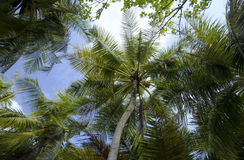 Under the palms. Stay under the palms with coconuts. landscape Royalty Free Stock Image