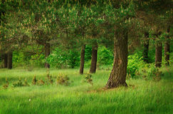 Under pine tree Royalty Free Stock Photography