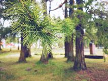 Under the Pines Stock Photography