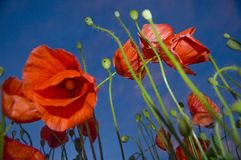 Under the poppies and blue sky stock photography