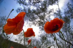 Under the poppies and clouds royalty free stock photos