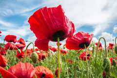Under a poppy. Seen from a very low viewpoint with selective focus Stock Image