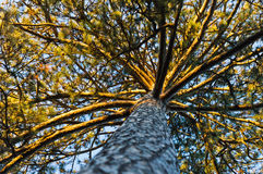 Under the powerful golden pine tree at Topcider park, Belgrade Stock Photography