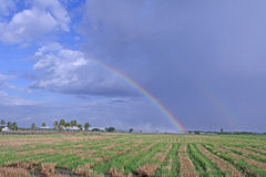 Under the rainbow. Field of rice under the rainbow Stock Images