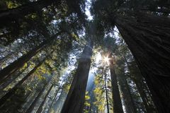 Under the redwood trees in the Redwood Natianol Park, California, USA, back light photography. Under the redwood trees in the Redwood Natianol Park, northern stock photography