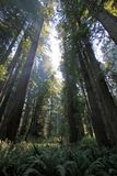 Under the redwood trees in the Redwood Natianol Park, California, USA, back light photography Stock Photo