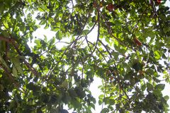 Under Santol or Sentul tree branches, fruit and green leaves. stock images