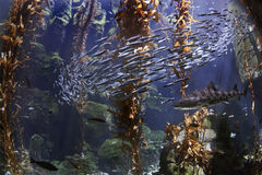 Under the Sea. An under water scene including marine life Royalty Free Stock Photography