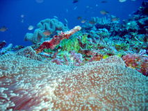 Under the sea. Scuba diving of the coast of Fiji Stock Image