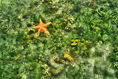 Under the sea. Starfish under the caribbean sea Stock Photography