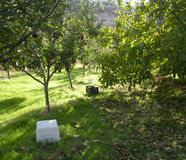 Under the Shade of an Apple Orchard in the Afternoon at Harvest Time. Between the apple trees, under the foliage, ripe apples hanging on the limbs, and sunlight Stock Images