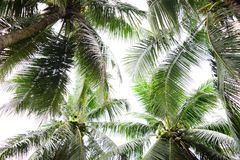 Under the shade of Coconut Trees. Noon time but no sunlight, because the shade of Coconut Trees stock image