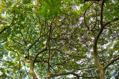 Under shade of giant tree from bottom view. can be use to natural background. Wallpaper, template, screensaver. beautiful plant tree royalty free stock photos