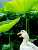 Under the shade of the leaves Ducks Royalty Free Stock Photo