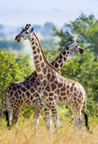 Under a shining sun two Rothschild Giraffes  (Giraffa camelopardalis) stand at a tree with the crossed long necks. Royalty Free Stock Photo